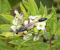Ammophila species (39838818381).jpg