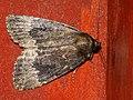 Amphipyra perflua - Гладкая совка буро-серая (26184491307).jpg