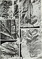 An Early Pennsylvanian flora with megalopteris and noeggerathiales from west-central Illinois (1977) (20935058188).jpg