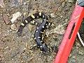 An adult California tiger salamander (5349327007).jpg
