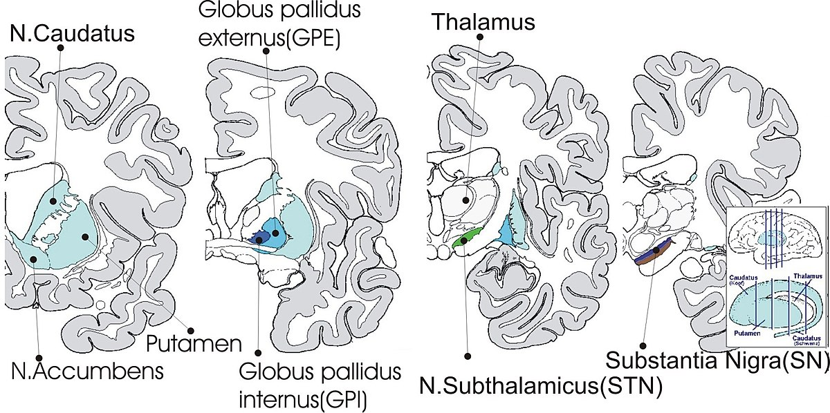 Internal globus pallidus - Wikipedia
