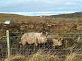 And This Little Pig.... - geograph.org.uk - 700530.jpg