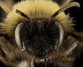 Andrena clarkella, F, face, Hancock co 2014-01-06-14.11.59 ZS PMax (13669153393).jpg