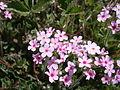 Androsace sarmentosa 01.jpg