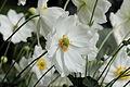 Anemone hupehensis-IMG 6164.jpg