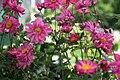 Anemone hupehensis var. japonica Bressingham Glow 1zz.jpg