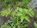 Angelica archangelica Oenothera rubricaulis 2017-04-30 8978.jpg