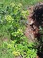 Angelica archangelica habitus 2010-4-08 SierraMadrona.jpg