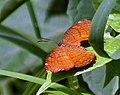 Angled Castor Butterfly I2 IMG 6200.jpg