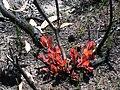 Angophora hispida Angophora hispida new growth IMG 5611 (1867066136).jpg