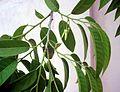 Annona reticulata flower.JPG