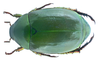 Anomala cupripes Hope, 1839 (22474385812).png