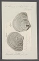 Anomia ephippium - - Print - Iconographia Zoologica - Special Collections University of Amsterdam - UBAINV0274 074 06 0003.tif