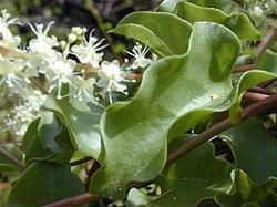 Anredera Cordifolia.jpg