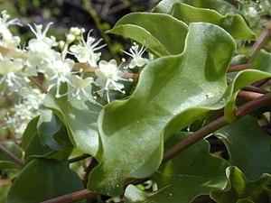 Anredera cordifolia - Image: Anredera Cordifolia