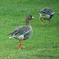 Anser albifrons albifrons Swallow Pond 3.jpg