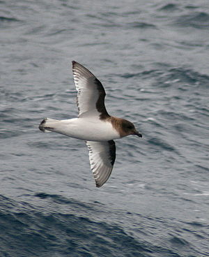 Antarctic petrel - Antarctic petrel off of the Western Antarctic Peninsula