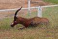 Antelope at HartRAO.jpg