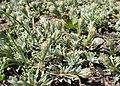Antennaria dioica kz04.jpg