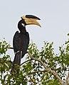 Anthracoceros coronatus -Yala National Park, Sri Lanka-8.jpg