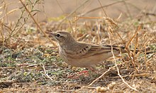 Anthus campestris-3.jpg