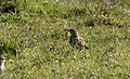 Anthus pratensis - Meadow Pipit 2021-03-27 02.jpg