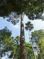 Antiaris toxicaria-Jardin botanique de Kandy (2).jpg