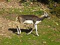 Antilope cervicapra.jpg