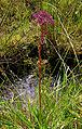 Apiaceae20090812 260.jpg