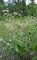 Apocynum androsaemifolium var. androsaemifolium 2.jpg