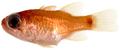 Apogon cf quadrisquamatus - pone.0010676.g070.png