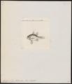 Apogon novae hollandiae - 1832 - Print - Iconographia Zoologica - Special Collections University of Amsterdam - UBA01 IZ13000050.tif