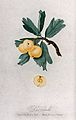 Apple (Malus species); fruiting branch with halved fruit. Co Wellcome V0043144.jpg