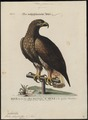 Aquila chrysaëtos - 1700-1880 - Print - Iconographia Zoologica - Special Collections University of Amsterdam - UBA01 IZ18100165.tif