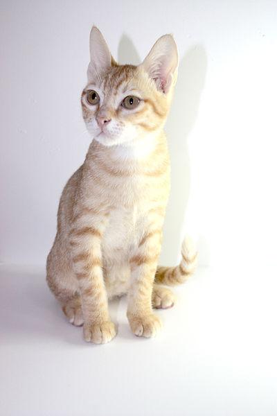 File:Arabian Mau Kitten.jpg