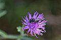 Araignées, insectes et fleurs de la forêt de Moulière (Les Chirons Noirs) (28757561590).jpg
