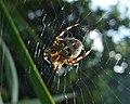 Araneus diadematus, female (36846547150).jpg