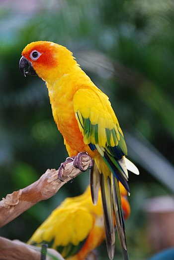 English: Sun Conure or Sun Parakeet (Aratinga ...