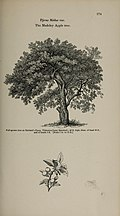 Arboretum et fruticetum britannicum, or - The trees and shrubs of Britain, native and foreign, hardy and half-hardy, pictorially and botanically delineated, and scientifically and popularly described (14597295760).jpg