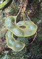 Archidendron monadelphum 06.JPG