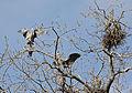 Ardea herodias -Illinois, USA -nests-8 (1).jpg