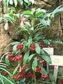 Ardisia crenata - Hong Kong Park Conservatory - IMG 9835.JPG