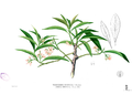 Ardisia sp Blanco2.439.png