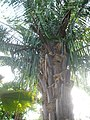Arecales - Arenga undulatifolia - 5.jpg