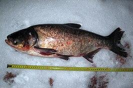 толстолобик что за рыба и как его
