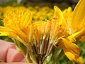 Arnica longifolia (28925389680).jpg