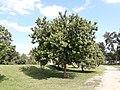 Aroeira-vermelha em Taubaté, SP.jpg