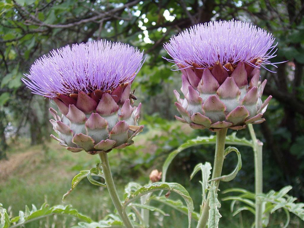 Artichoke plant (Cynara scolymus) (61044604)