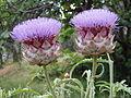 Artichoke plant (Cynara scolymus) (61044604).jpg
