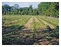 Artificial-regeneration-of-oak--Quercus-robur-L.jpg